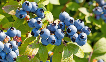 Food Fact: Wild Blueberries